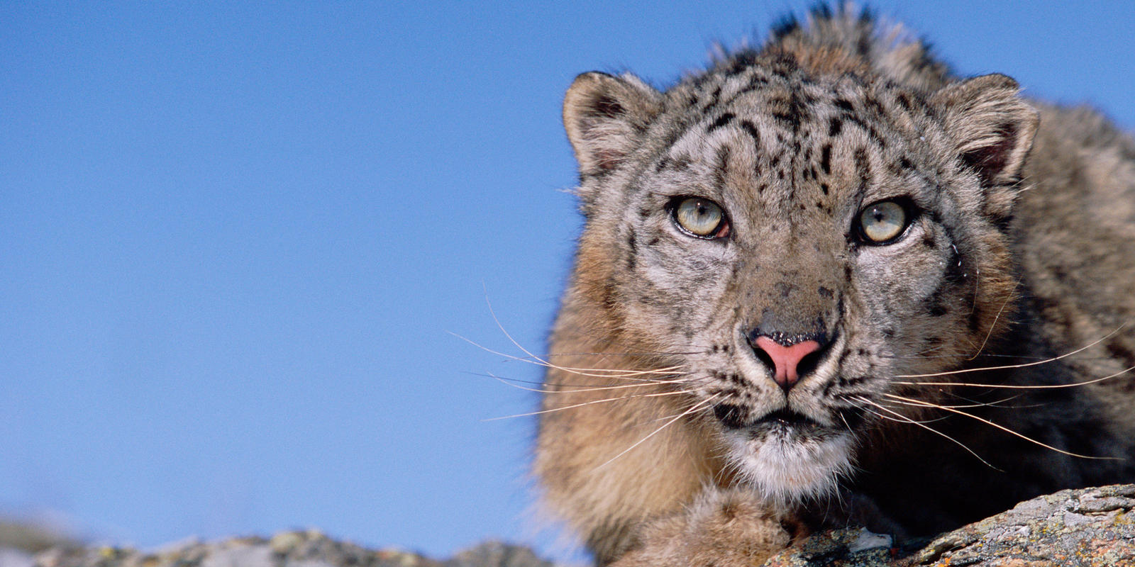 Where do snow leopards live? And nine other snow leopard