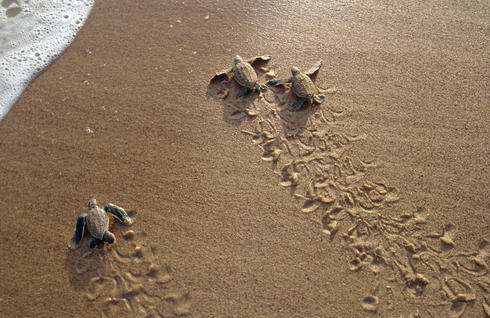 baby sea turtles walk toward the ocean