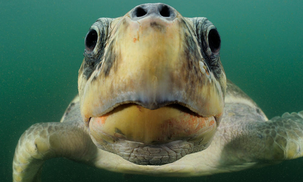 Sea turtle inspecting camera