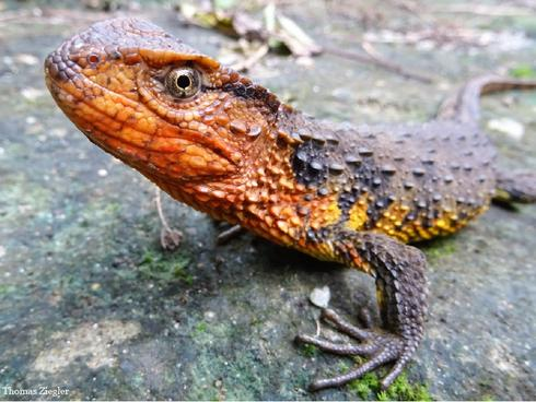 crocodile lizard