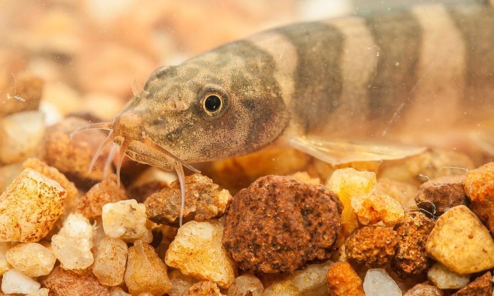 loach fish