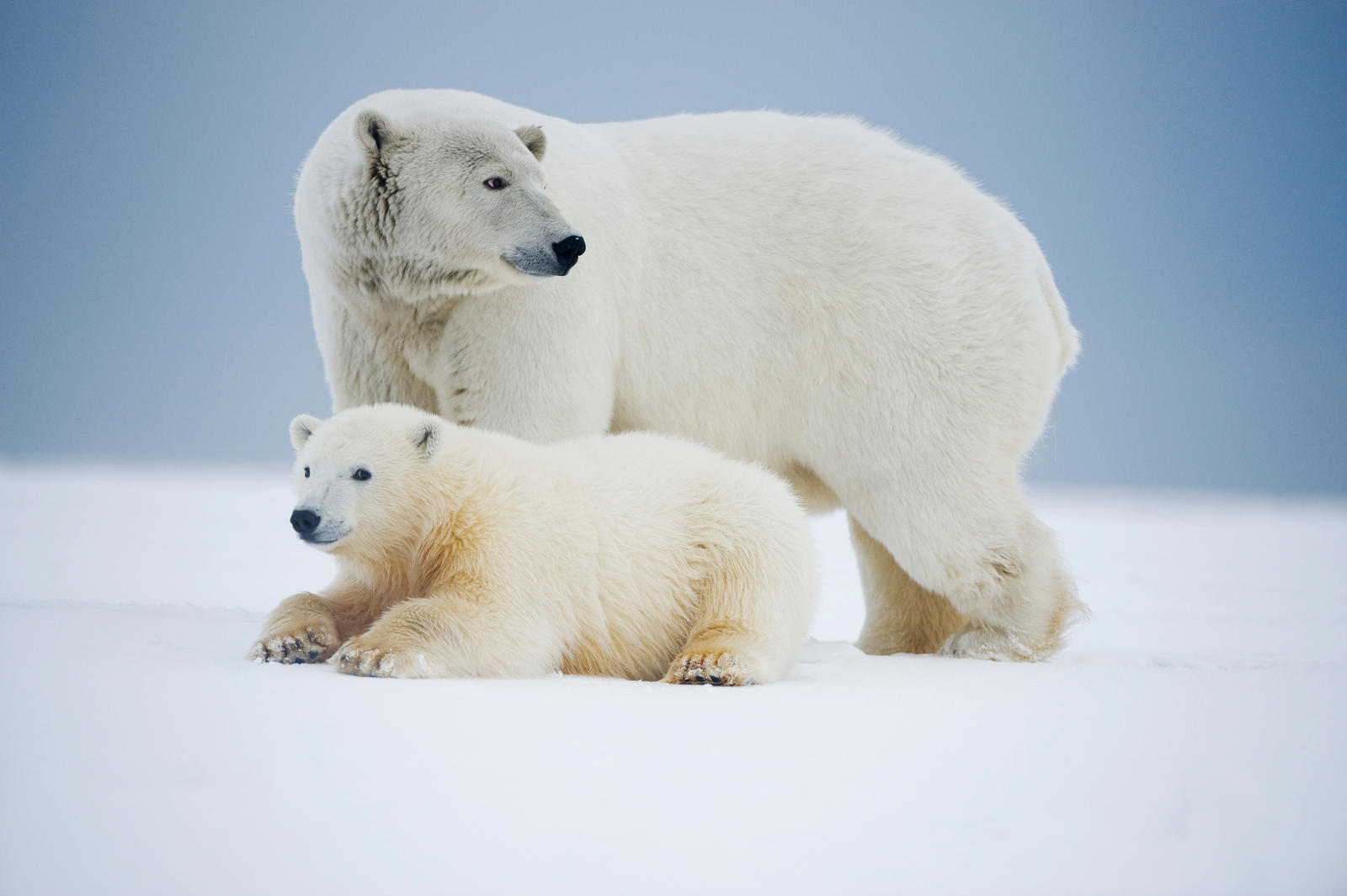 polar bears rest on an ice pack