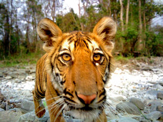 juvenile tiger in Royal Manas National Park