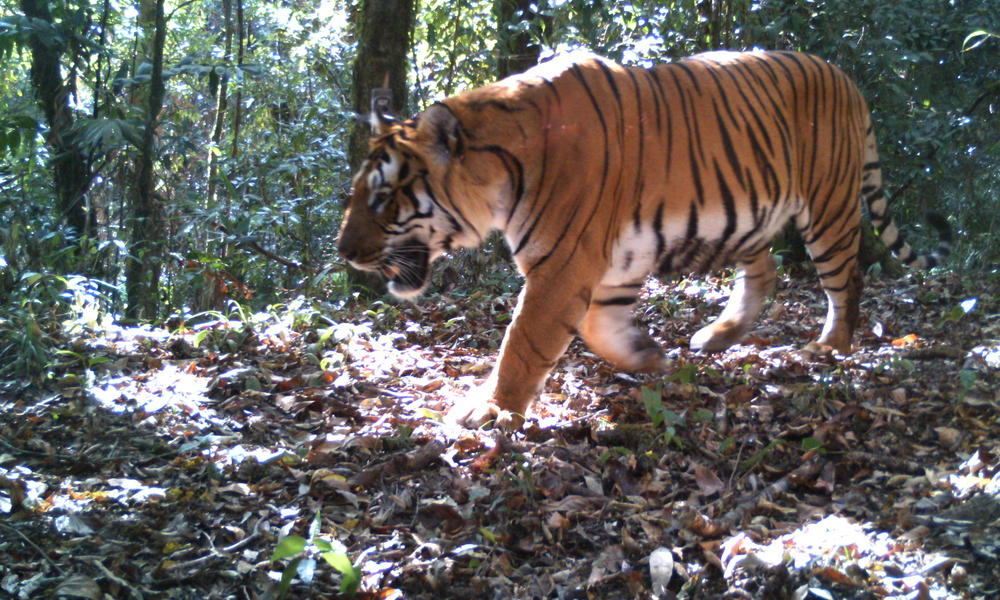 Tiger image from camera trap in Royal Manas National Park