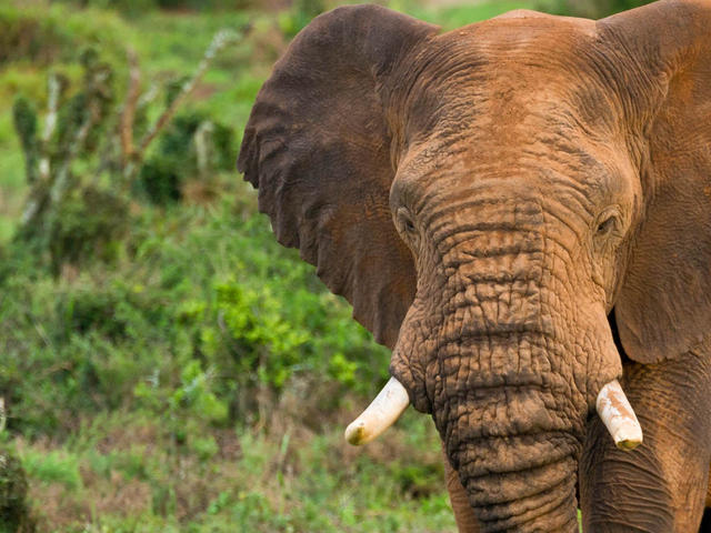 African elephant walks toward water