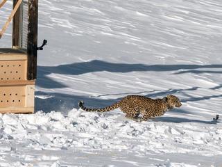 leopard is released