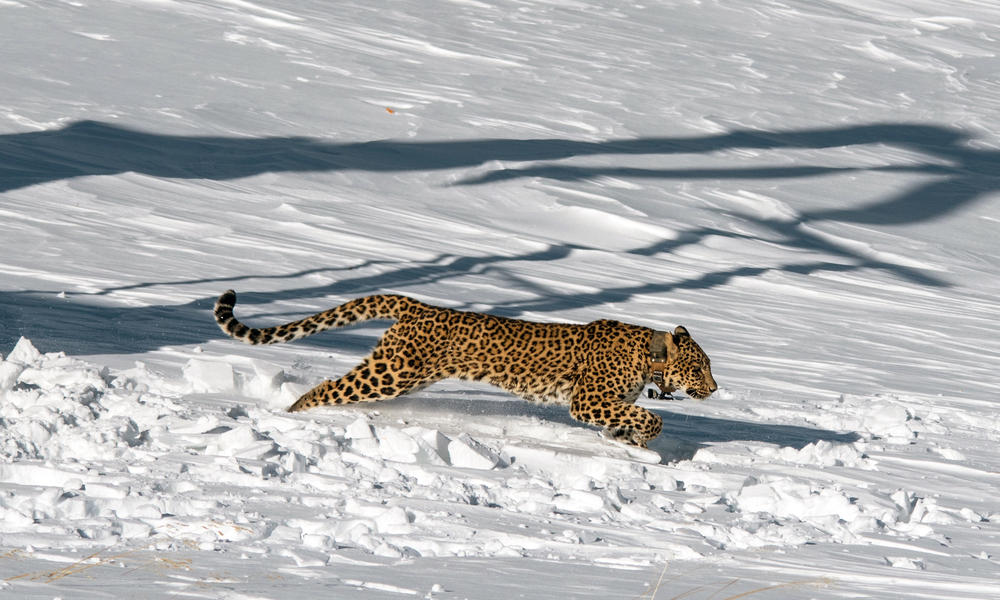 leopard runs into the wild