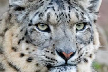 Snow Leopard Species Wwf