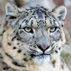 2018 01 drtv snow leopard