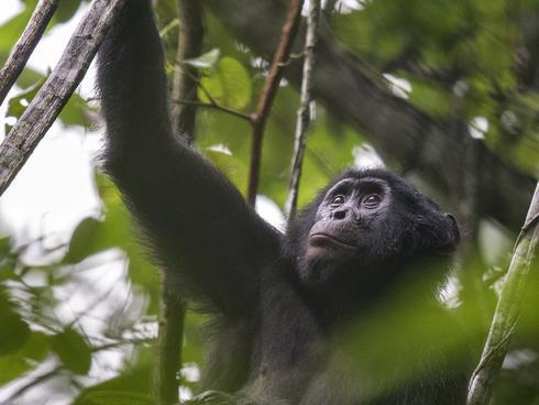 Congo Bonobos Magazine Spring 2018