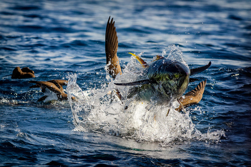 a better way to fish for yellowfin tuna in the philippines