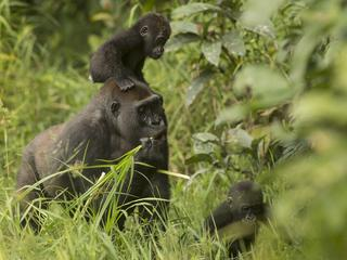 Gorilla twins Inganda and Inguka with their mother