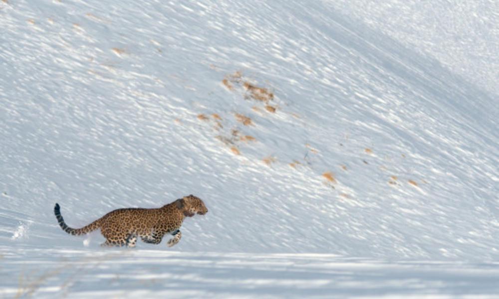 Persian leopard release Victoria