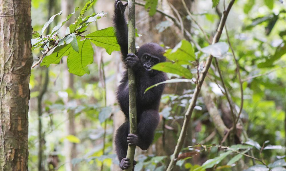 Gorilla twin Inguka