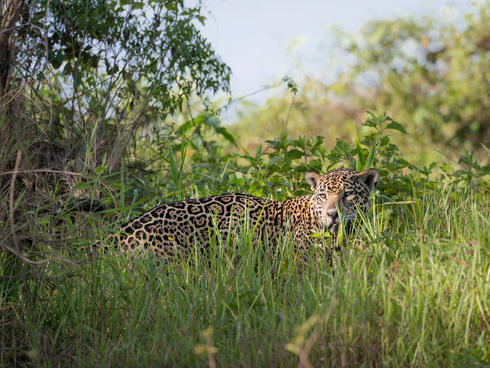 A jaguar in the grass