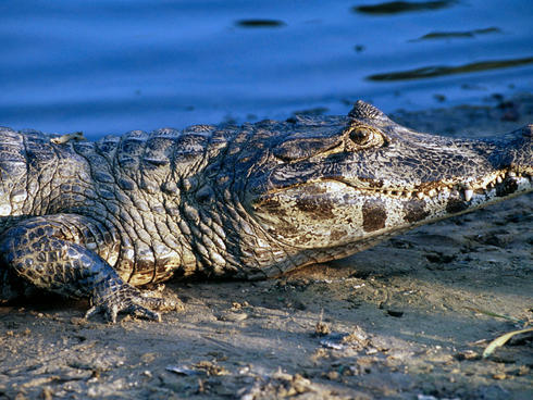 A caiman in the Pantanal
