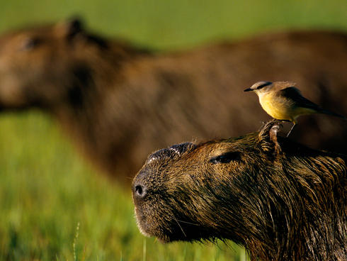 Capybara with a bird on its head