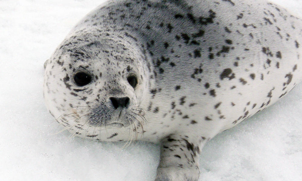spotted seal on ice