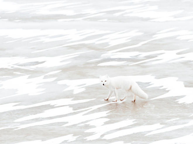 Arctic fox crosses pond