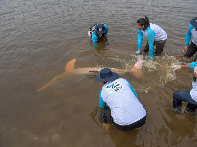 releasing a river dolphin