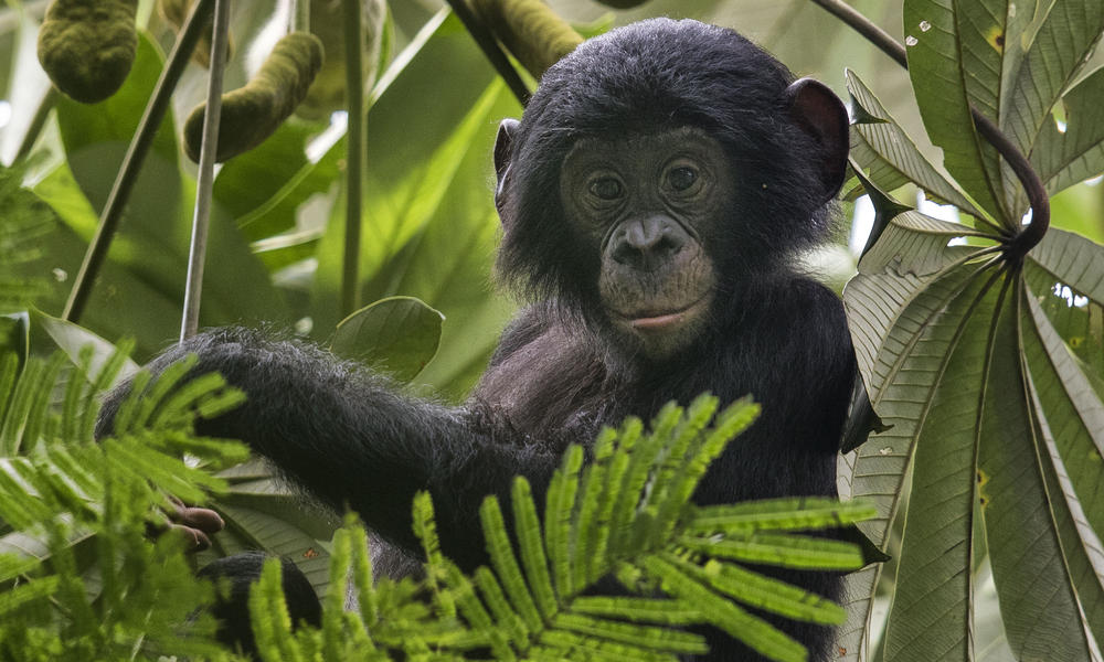 A bonobo sits in a treetop