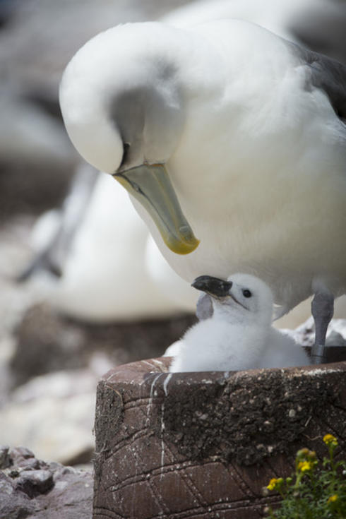 A shy albatross using a concrete nest