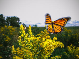 Monarch among goldenrod