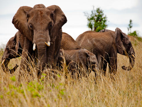 African elephants stand in tall grass