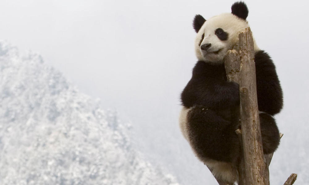 Panda flipped ww22165