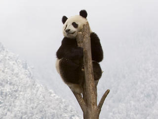 Panda at top of a tree