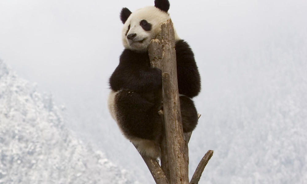 Panda at top of a tree