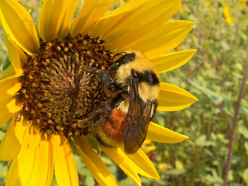 Bee Pollinating Sunflower Farm Bill