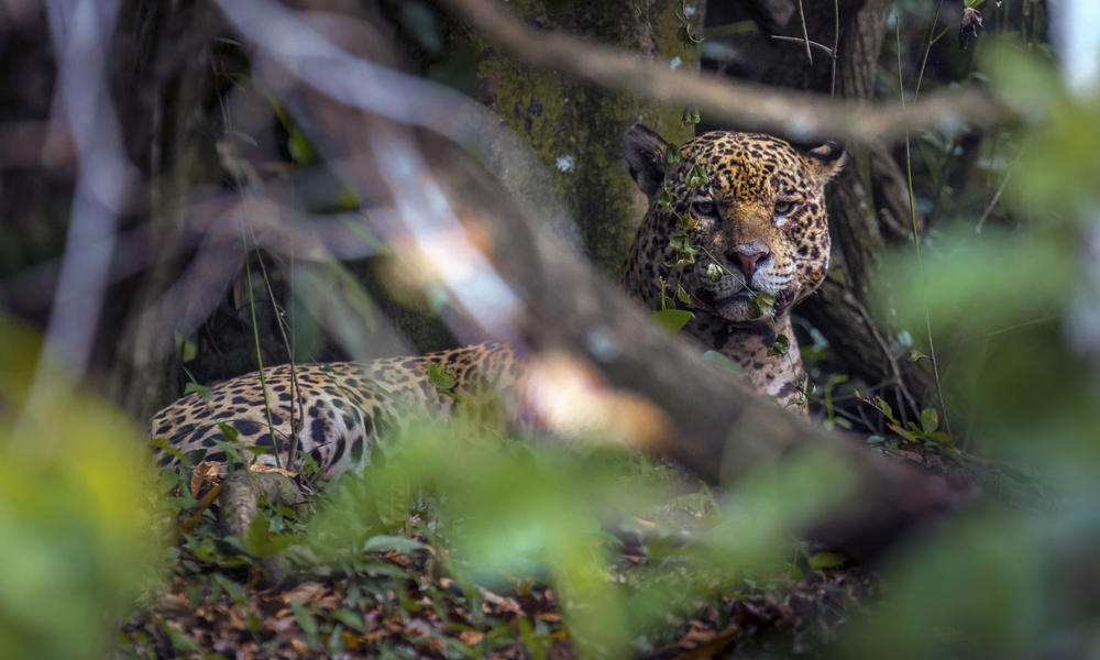 A jaguar in the forest