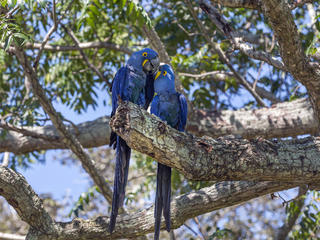 Two hyacinth macaws in a tree