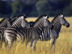 zebras/