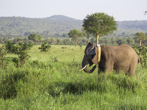 Elephant with new GPS collar