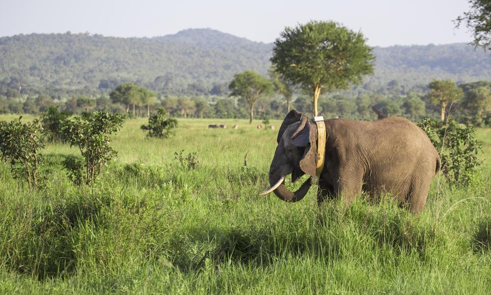 Elephant with new GPS collar