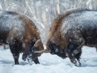 update bison summer2018