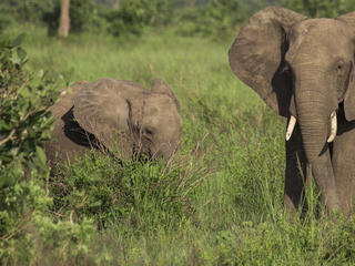elephant in Selous