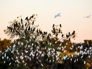 granchaco egrets summer2018