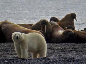 WAIF Polar Bear and Walrus
