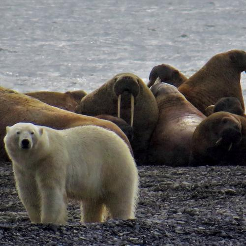 polar bear stalking a group of walruses