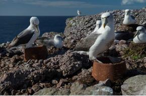 WAIF Albatross Nests