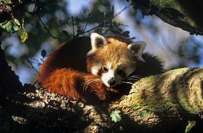 WAIF Red Panda