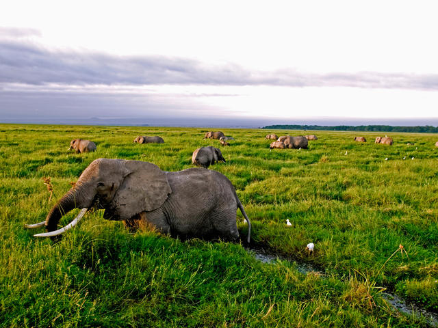 African Elephant Herd Feeding