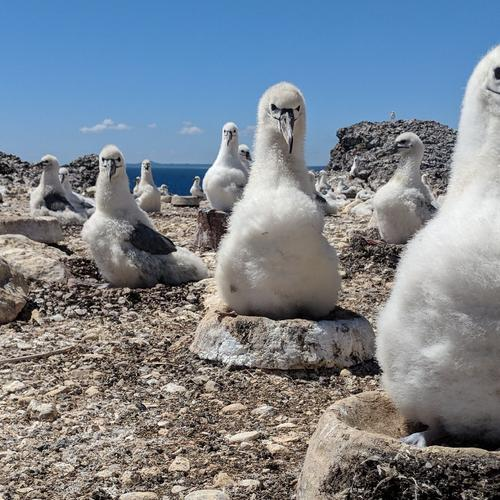 albatross in their nests