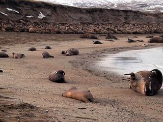 walrus hauled out on a beach