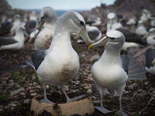 Two albatross touching beaks
