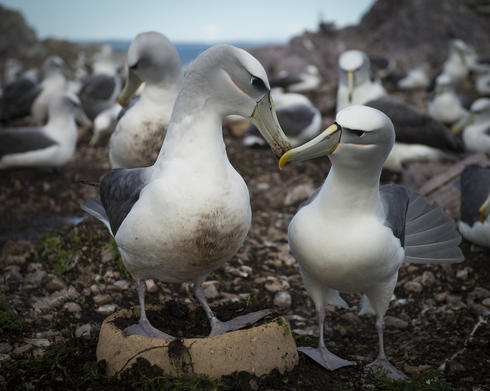 Two albatross touching beaks