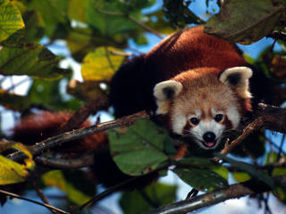 Image of: Habitat Red Panda In Tree Sikkim India World Wildlife Fund Red Panda Species Wwf